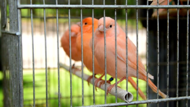 Canary in the cage