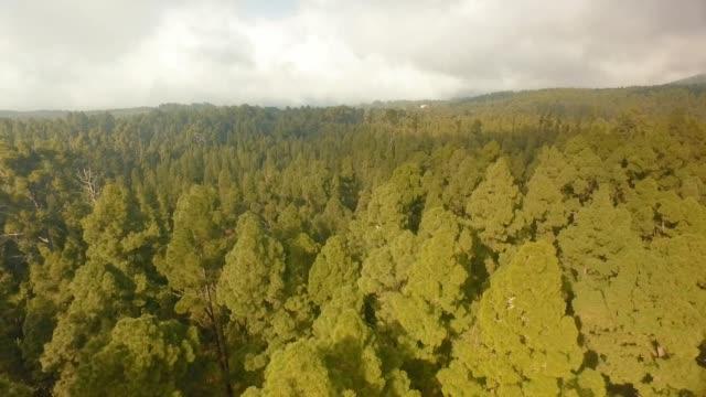 kanarische kiefern auf einem vulkan - kiefernwäldchen stock-videos und b-roll-filmmaterial