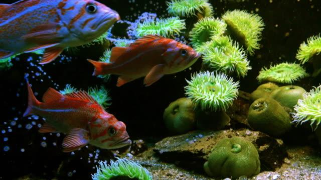 canary rockfish, sebastes pinniger, real time 4k - морской окунь стоковые видео и кадры b-roll