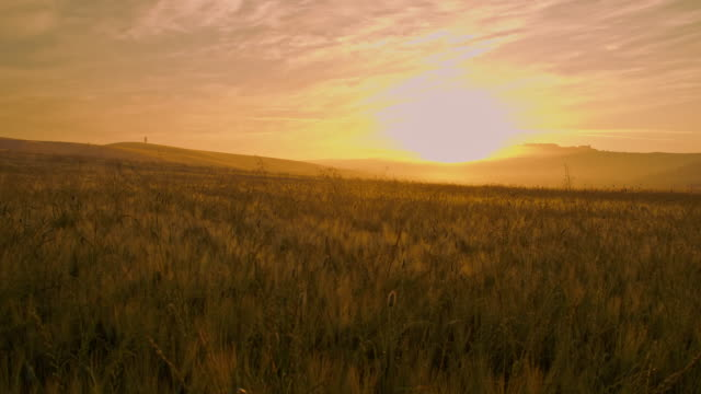 DS Candid field of wheat at sunrise video