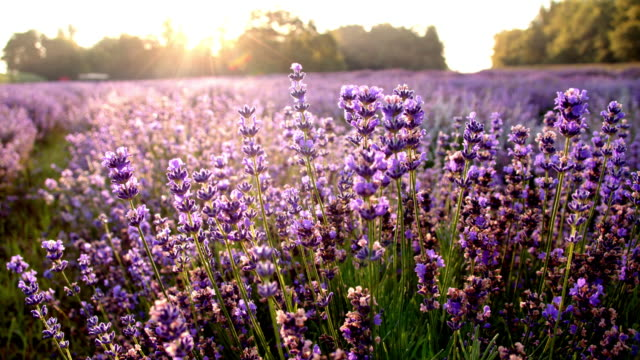 DS Candid lavender flowers Dolly close up shot of colorful lavender flowers at sunrise Also available in 4K resolution. lavender plant stock videos & royalty-free footage