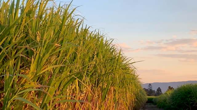 Cane Fields, NSW Mt Warning At Sunset With Cane Fields in Tweed Valley Australia sugar cane stock videos & royalty-free footage