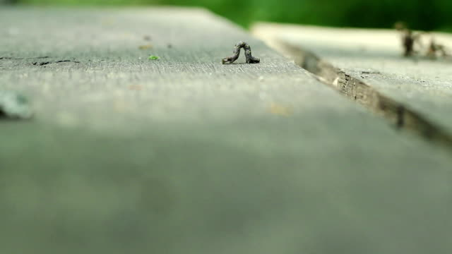 Cankerworm on Wood video
