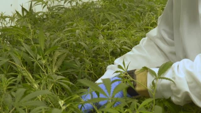 kvalitets kontroll av cannabis gården - hasch bildbanksvideor och videomaterial från bakom kulisserna