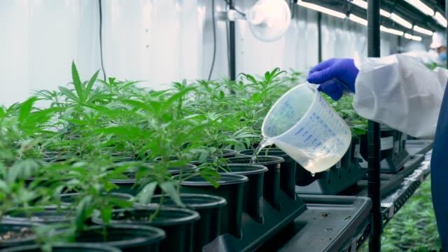 cannabis farmer vattning växter - hasch bildbanksvideor och videomaterial från bakom kulisserna