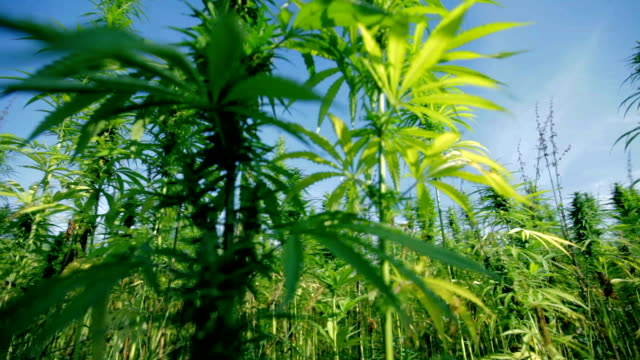 HD SLIDER: Cannabis field with camera moving away HD1920x1080: High quality produced HD Stock Footage Clip of Industrial cannabis field and single hemp plants shots  from different angles while shaking in the wind on a sunny day near the roadside. hashish stock videos & royalty-free footage