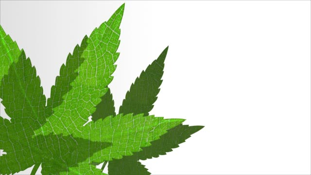 Cannabis leaves 3D animation intro background with copy space. Marijuana hemp plant opener video Cannabis leaves 3D animation intro background with copy space. Marijuana hemp plant opener video cbd oil stock videos & royalty-free footage