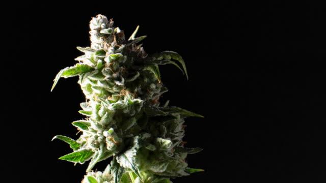 cannabis växten fritids marijuana knoppar snurrar runt - hasch bildbanksvideor och videomaterial från bakom kulisserna