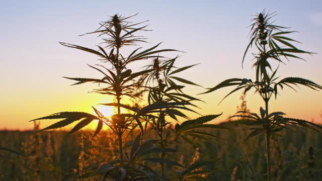 ds cannabisplantor i gryningen - hasch bildbanksvideor och videomaterial från bakom kulisserna
