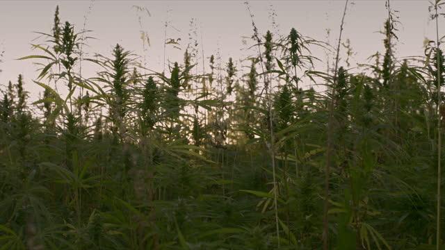 Cannabis plants on field Cannabis or hemp plants growing on field for cannabidiol production. Sun shining through marijuana leaves. hashish stock videos & royalty-free footage