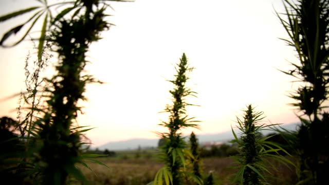 Cannabis video