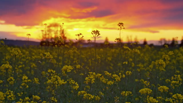 DS Canola field at dusk video