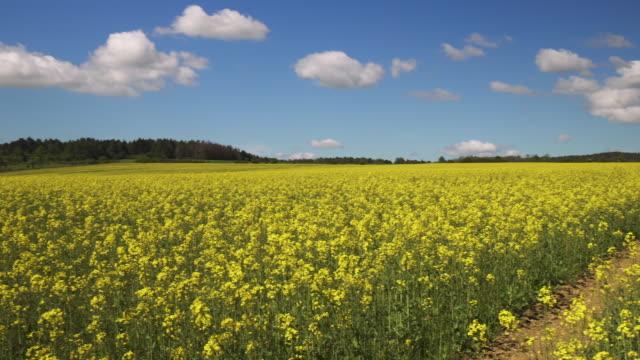 春のキャノーラ畑 ビデオ