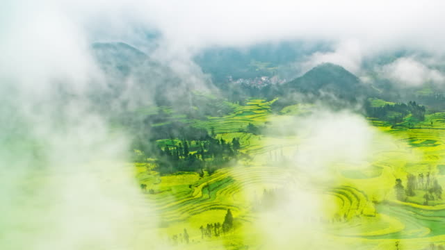 canola field or rapeseed flower field in luoping china - colza video stock e b–roll
