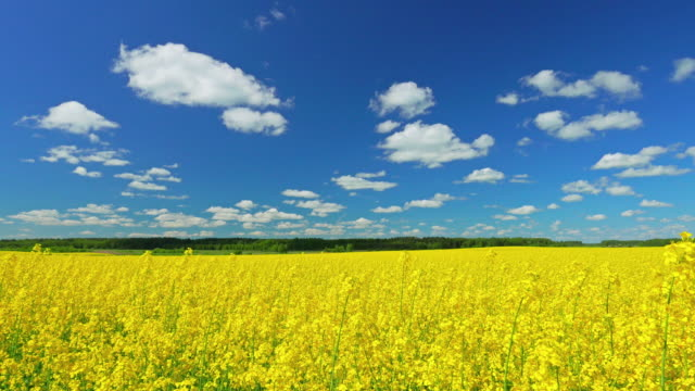 canola field, panorama - colza video stock e b–roll