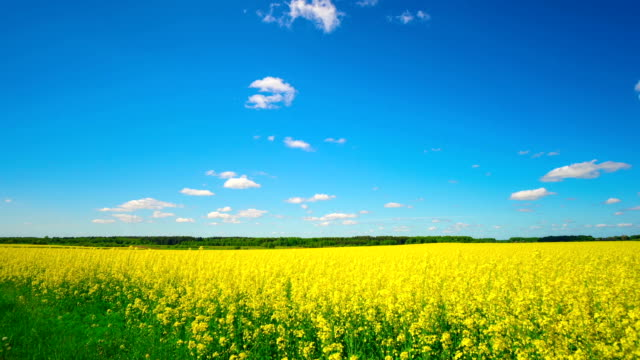 canola field, panoramic timelapse video