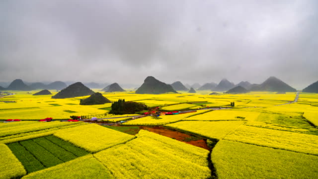 canola field, rapeseed flower field with the mist in luoping - colza video stock e b–roll