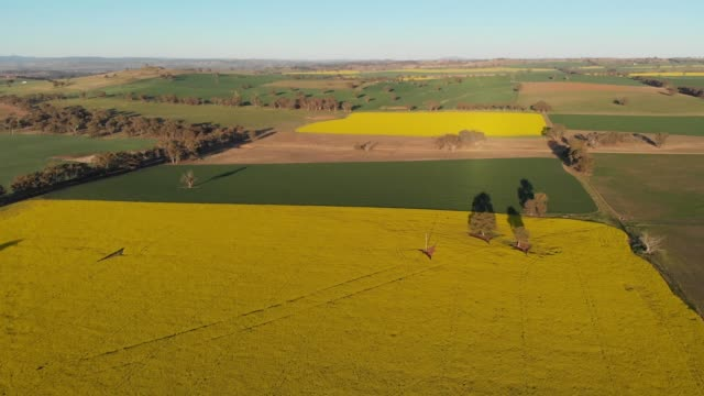 canola field rural australia agriculture farming landscape - aerial drone shot - canola video stock e b–roll
