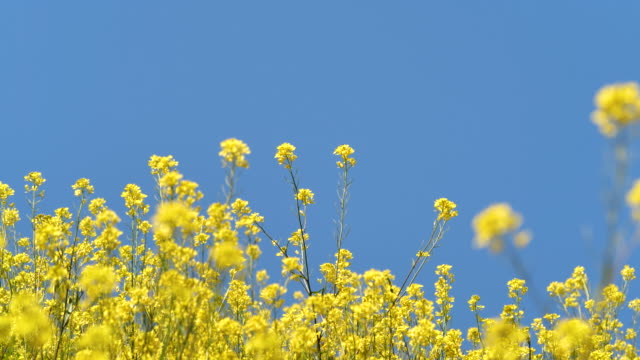canola field I took a video of canola field on the slope. flowering plant stock videos & royalty-free footage