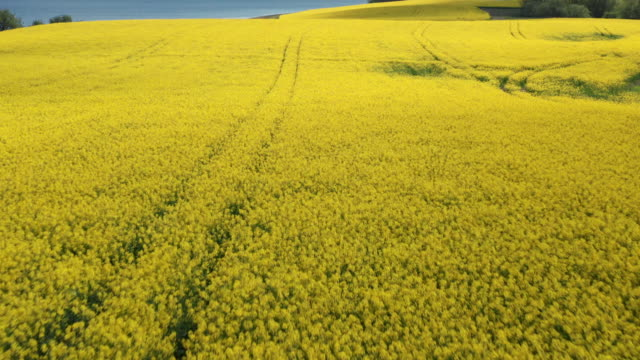 canola fields in denmark and shadows of clouds rolling in the sky - canola video stock e b–roll