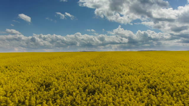 canola rapeseed field. aerial drone shot. the camera is moving forward - canola video stock e b–roll