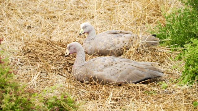 Cape Barren goose, Cereopsis novaehollandiae, sleeping in Nobbies centre in Australia