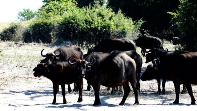 Cape Buffalo at Chobe river, Botswana safari wildlife