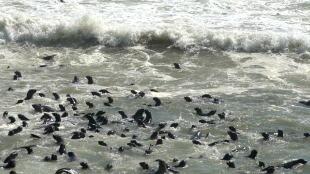 Cape Cross Seal Reserve Cape Fur Seals - Arctocephalus pusillus - at Cape Cross Seal Colony on the Skeleton Coast in Namibia. namibia stock videos & royalty-free footage