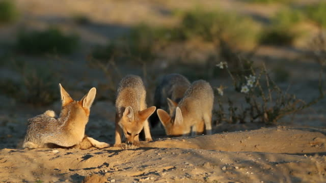 Cape fox Familie – Video