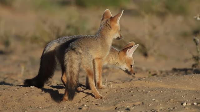 ケイプ foxes - キツネ点の映像素材/bロール