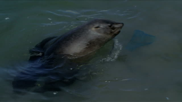 A Cape Fur Seal swimming in Hout Bay Habour, Cape Town. Lots of litter in the water video