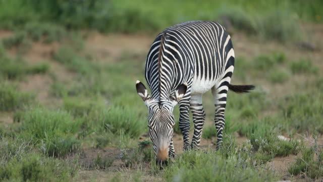 cape dağ zebrası (equus zebra) sineklerin ısırma tarafından rahatsız - sinek stok videoları ve detay görüntü çekimi