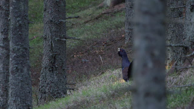 Capercaillie (Auerhahn / Tetrao urogallus) in the forest during mating season (4K Resolution)
