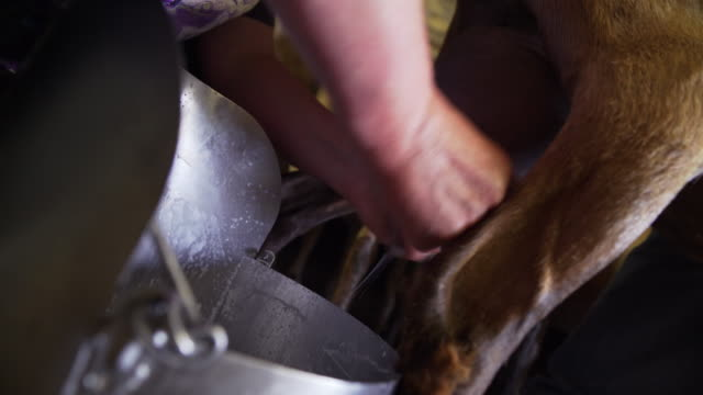 vídeos de stock e filmes b-roll de capre nella stalla - mungitura - ordenhar