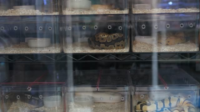captive bred snakes for sale. small plastic boxes with captive bred ball pythons of various morphs placed on stall on chatuchak market in bangkok, thailand - gad filmów i materiałów b-roll