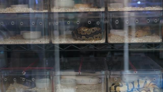 vidéos et rushes de serpents élevés en captivité à vendre. petites boîtes en plastique avec des pythons de boule élevés captifs de divers morphs placés sur le stand sur le marché de chatuchak à bangkok, thaïlande - reptile