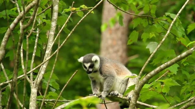 captive lemur - lemur bildbanksvideor och videomaterial från bakom kulisserna