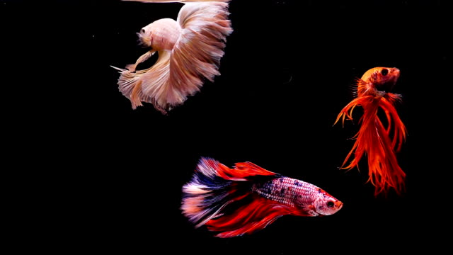capture the moving moment of siamese fighting fish, group of betta fish on black background - три животных стоковые видео и кадры b-roll