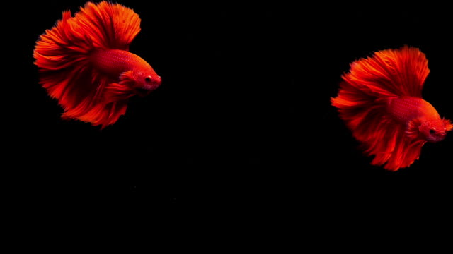 Capture the moving moment of Siamese fighting fish, Two Betta fish on black background