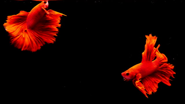 capture the moving moment of siamese fighting fish, two betta red fish on black background - драться стоковые видео и кадры b-roll