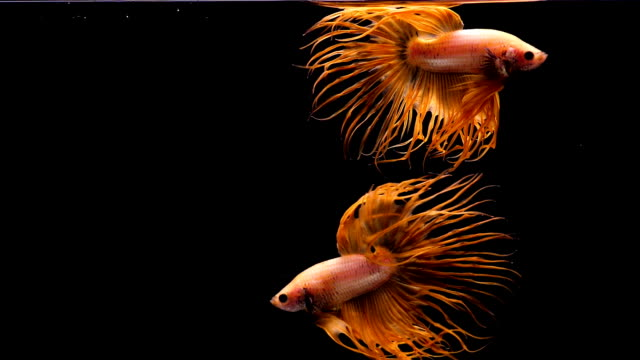 Capture the moving moment of Siamese fighting fish, Two Crowntail betta fish isolated on black background