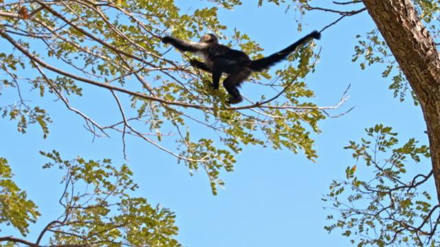 slo mo capuchin monkey klättring på trädet - människoapa bildbanksvideor och videomaterial från bakom kulisserna