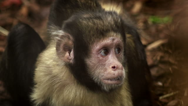 Best Capuchin Monkey Stock Videos and Royalty-Free Footage