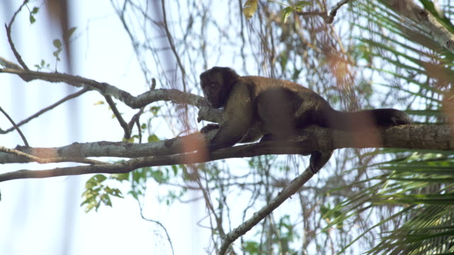 Capuchin resting and walking among top branches video