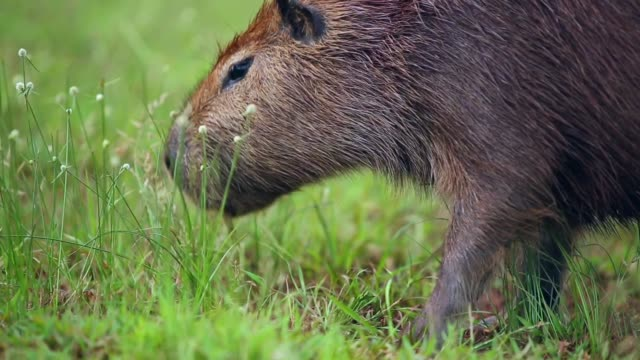 Capybara grazing on fresh green grass