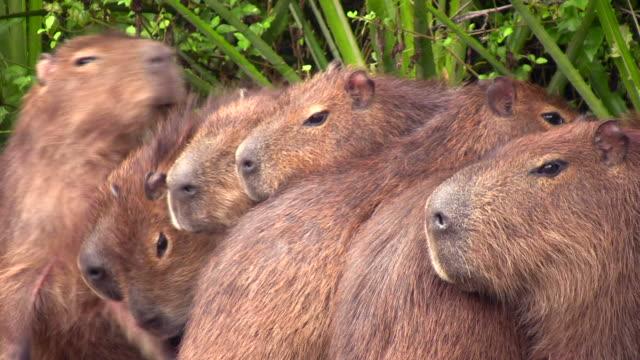 capybaras - ekoturystyka filmów i materiałów b-roll