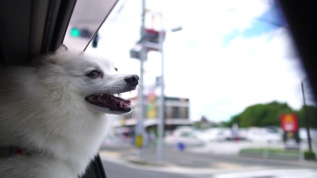 auto fenster und weißer hund - dog car stock-videos und b-roll-filmmaterial