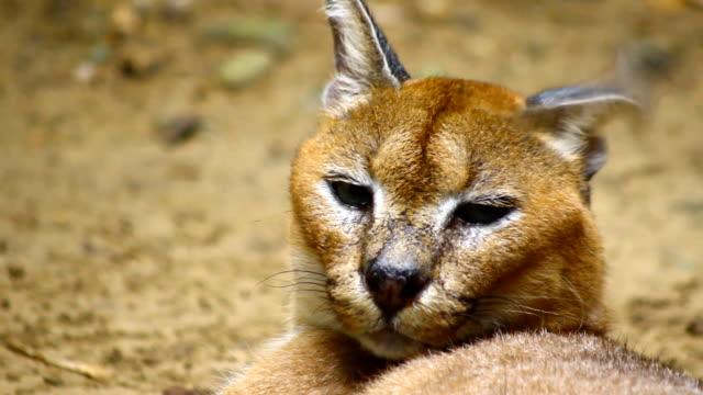 caracal, Africa wild cat