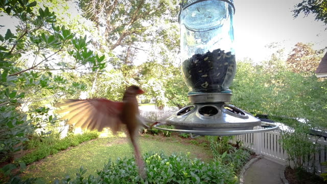 Cardinal at a Feeder (Slow Motion)