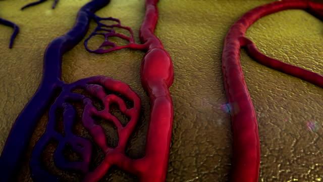 vidéos et rushes de système cardio-vasculaire - nervure